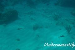 Karibischer Riff-Tintenfisch_adult-Karibik-2014-017
