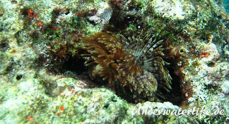 Karibischer-Roehrenwurm_adult-Karibik-2014-003