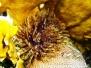 Karibischer-Röhrenwurm (Sabellastarte magnifica)