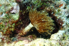 Karibischer-Roehrenwurm_adult-Karibik-2014-004