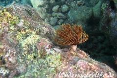 Karibischer-Roehrenwurm_adult-Karibik-2014-005