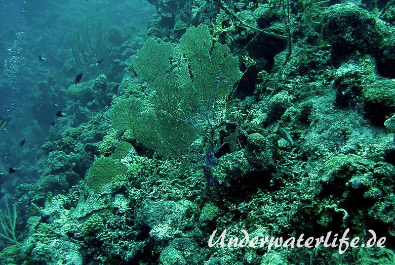 Karibischer Seefaecher_adult-Karibik-2014-007