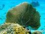 Karibik Korallen/Gorgonien-coral