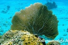 Karibischer Seefaecher_adult-Karibik-2014-001