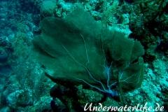 Karibischer Seefaecher_adult-Karibik-2014-004
