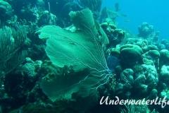 Karibischer Seefaecher_adult-Karibik-2014-006