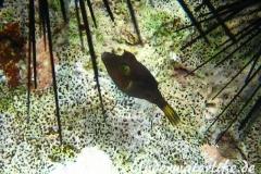 Karibischer Spitzkopfkugelfisch_adult-Karibik-2014-001
