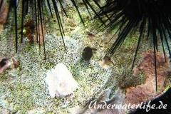 Karibischer Spitzkopfkugelfisch_adult-Karibik-2014-002