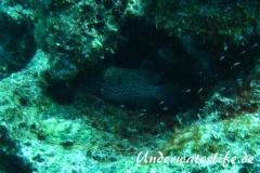 Karibischer Zackenbarsch_adult-Karibik-2014-002