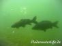 Europa Süßwasser Karpfenartigen-Cypriniformes-carps