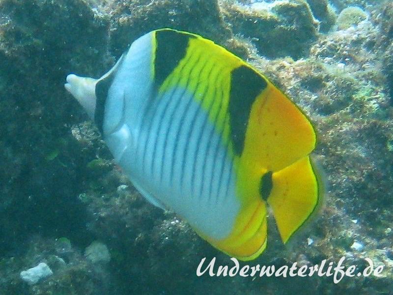 Keilfleck-Falterfisch_adult-Malediven-2013-01