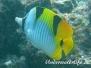 Keilfleck-Falterfisch (Chaetodon falcula)