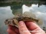 Europa Süßwasser Grundelartig-Gobiiformes-prawn gobys