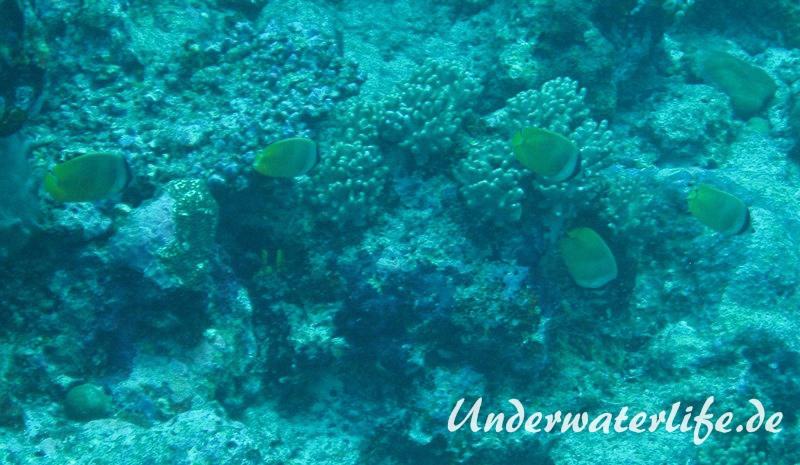 Kleins-Falterfisch_adult-Malediven-2013-01