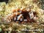 Karibik Würmer-Vermes-worms