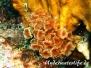 Kolonialer Röhrenwurm (Bispira brunnea)