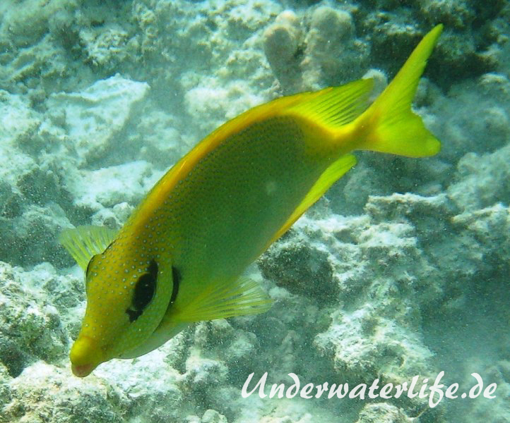 KorallenKaninchenfisch_adult-Malediven-2013-01