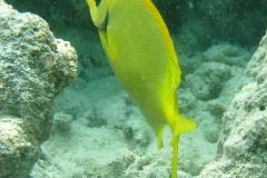 KorallenKaninchenfisch_adult-Malediven-2013-02