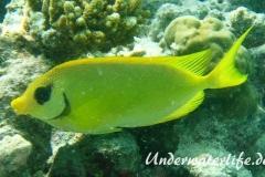 KorallenKaninchenfisch_adult-Malediven-2013-03