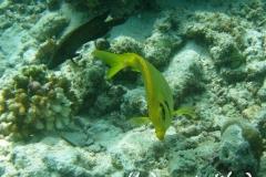 KorallenKaninchenfisch_adult-Malediven-2013-04