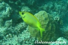 KorallenKaninchenfisch_adult-Malediven-2013-05