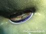 Indik Muscheln-Bivalvia-shell