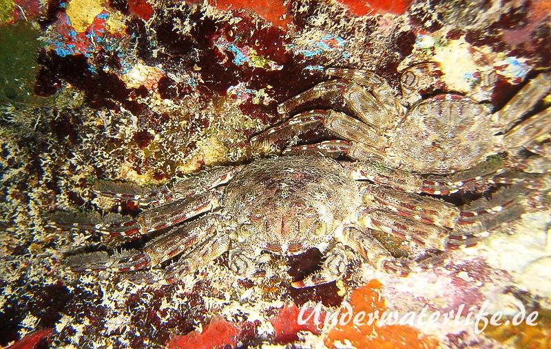 Plagusia depressa_adult-Karibik-2014-001