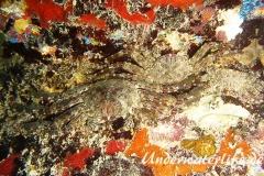 Plagusia depressa_adult-Karibik-2014-002