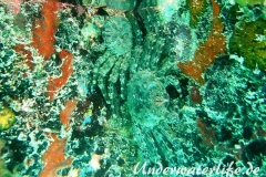 Plagusia depressa_adult-Karibik-2014-004