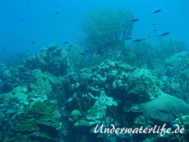 Kreolen-Lippfisch_adult-Karibik-2014-002