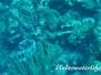 Kreolen-Lippfisch (Clepticus parrae)