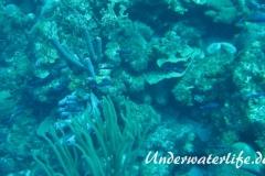 Kreolen-Lippfisch_adult-Karibik-2014-001