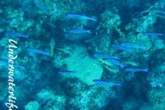 Kreolen-Lippfisch_adult-Karibik-2014-003