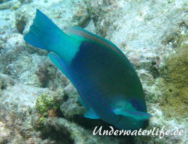 Kugelkopf-Papageifisch-Maennchen_adult-Malediven-2013-01