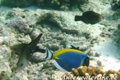 Kugelkopf-Papageifisch-Weibchen_adult-Malediven-2013-01