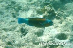 Kugelkopf-Papageifisch_adult-Marsa alam-2012-2