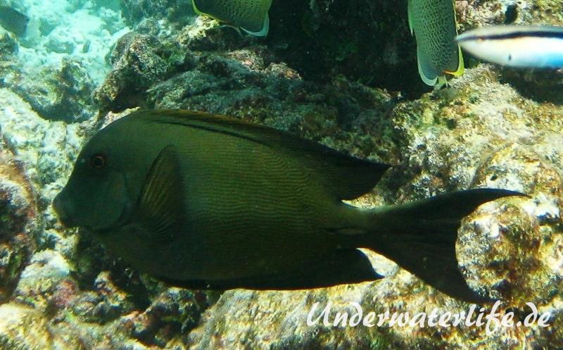 Laengsstreifen-Borstenzahndoktorfisch_adult-Malediven-2013-01