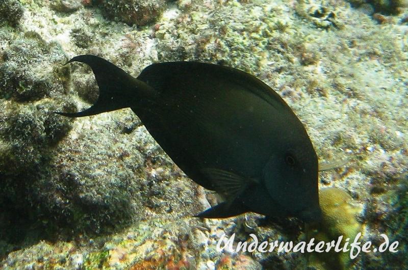 Laengsstreifen-Borstenzahndoktorfisch_adult-Malediven-2013-03