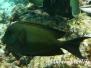 Längsstreifen-Borstenzahndoktorfisch (Ctenochaetus striatus)