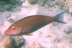 Langnasen-Papageifisch_adult-Malediven-2013-01