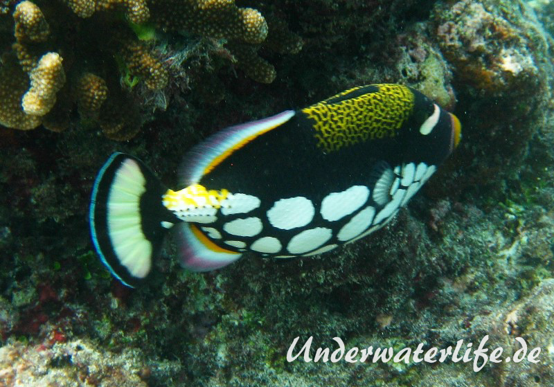 Leoparden-Drückerfisch_adult-Malediven-2013-03