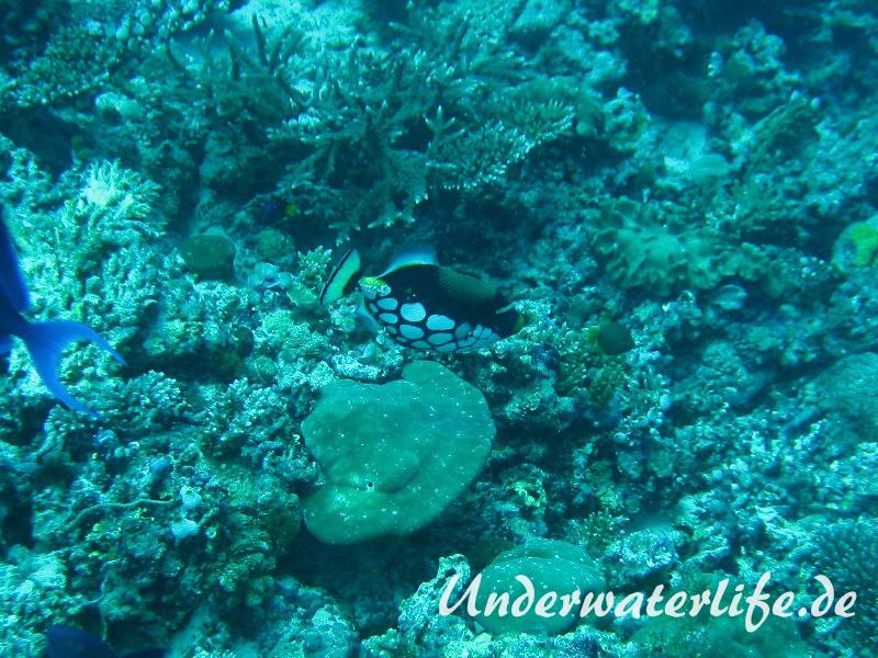 Leoparden-Drückerfisch_adult-Malediven-2013-05