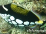 Leoparden-Drückerfisch (Balestoides conspicillum)