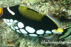 Leoparden-Drückerfisch_adult-Malediven-2013-01
