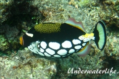 Leoparden-Drückerfisch_adult-Malediven-2013-02