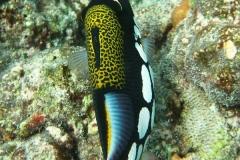 Leoparden-Drückerfisch_adult-Malediven-2013-04