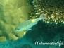 Leuchtfleck-Straßenkehrer (Gnathodentex aurolineatus)