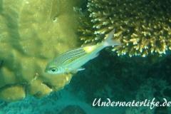 Leuchtfleck-Strassenkehrer_adult-Malediven-2013-01
