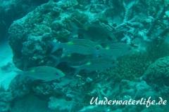 Leuchtfleck-Strassenkehrer_adult-Malediven-2013-02