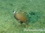 Lippfisch (Cheilinus chlorourus)